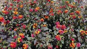 Piccola crescita di fiori multicolore insieme in un campo Fotografie Stock Libere da Diritti