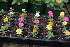 Piccola crescita di fiori in vassoio della pianta fotografie stock