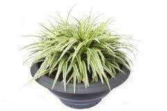 Piccola erba come priorità bassa bianca Fotografia Stock