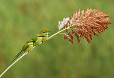 Piccola famiglia verde del mangiatore di ape Immagine Stock Libera da Diritti