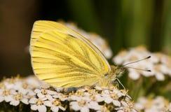 Piccola farfalla bianca Fotografia Stock
