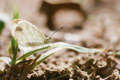Piccola farfalla bianca Fotografia Stock Libera da Diritti