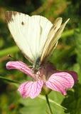 Piccola farfalla bianca (rapae del Pieris) Fotografie Stock Libere da Diritti