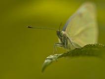 Piccola farfalla bianca (rapae del Pieris) sul foglio Fotografie Stock Libere da Diritti