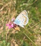 Piccola farfalla blu immagine stock libera da diritti