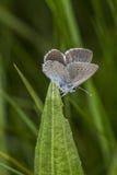 Piccola farfalla blu - minimus di Cupido Fotografia Stock