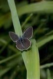 Piccola farfalla blu, minimus di Cupido, su una lama di erba Fotografie Stock