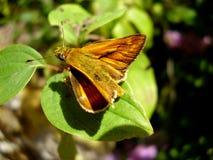 Piccola farfalla del capitano fotografia stock