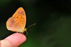 Piccola farfalla del leopardo Immagine Stock