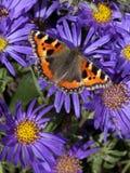 Piccola farfalla di carapace Fotografia Stock