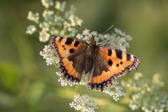 Piccola farfalla di carapace rossa sul fiore bianco Fotografia Stock