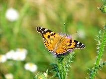 Piccola farfalla di guscio di testuggine Fotografie Stock
