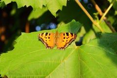 Piccola farfalla di guscio di testuggine Fotografia Stock