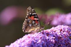 Piccola farfalla di guscio di testuggine Immagini Stock Libere da Diritti