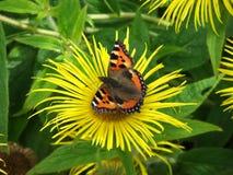 Piccola farfalla di guscio di testuggine Fotografia Stock Libera da Diritti