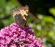 Piccola farfalla di guscio di testuggine che underwing Immagini Stock