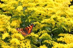 Piccola farfalla di guscio di testuggine sui fiori gialli Fotografia Stock