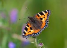 Piccola farfalla di guscio di testuggine (urticae di Aglais) Immagini Stock Libere da Diritti