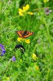 Piccola farfalla di guscio di testuggine, (urticae di Aglais) Fotografia Stock Libera da Diritti