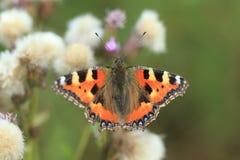 Piccola farfalla di guscio di testuggine Fotografie Stock Libere da Diritti