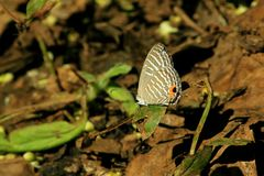 Piccola farfalla marrone su una foglia fotografia stock libera da diritti