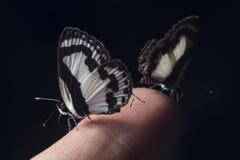 Piccola farfalla su un dito Immagini Stock
