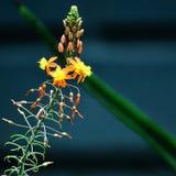 Piccola fioritura dell'aloe Fotografia Stock