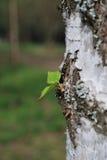 Piccola foglia verde sull'albero Immagine Stock