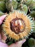Piccola foresta dei durians Fotografia Stock