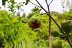 Piccola frutta del fico nel ramo dell'albero fotografie stock libere da diritti