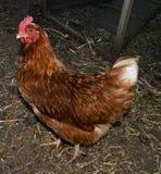 Piccola gallina rossa Fotografia Stock