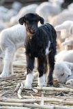 Piccola giovane capra appena nata. immagini stock