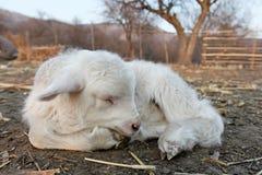 Piccola giovane capra appena nata. Fotografia Stock Libera da Diritti