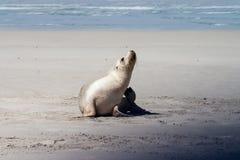 Piccola isola del canguro della guarnizione fotografia stock
