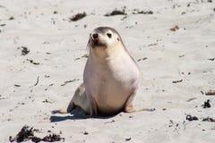Piccola isola del canguro della guarnizione fotografie stock libere da diritti