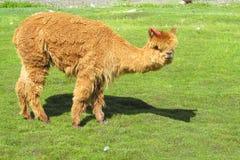 Piccola lama marrone Immagine Stock