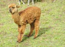 Piccola lama marrone sul prato della montagna Fotografia Stock