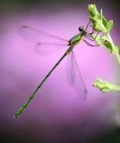Piccola libellula immagine stock