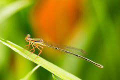 Piccola libellula Immagini Stock