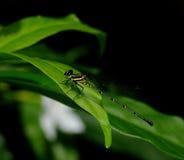 Piccola libellula scura Immagini Stock