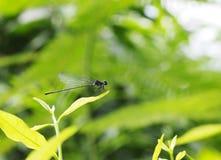 Piccola libellula scura Fotografia Stock Libera da Diritti