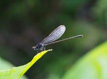 Piccola libellula variopinta minuscola Fotografia Stock