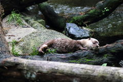 Piccola lontra graffiata dell'Asia Fotografia Stock Libera da Diritti