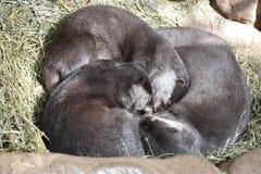 Piccola lontra sveglia Immagini Stock