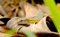 Piccola lucertola nera che striscia sulle foglie asciutte Fotografia Stock