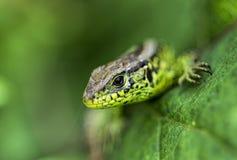 Piccola lucertola verde fotografie stock