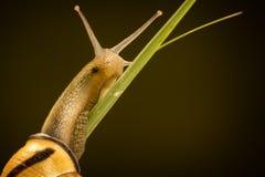 Piccola lumaca su un gambo dell'erba Immagini Stock