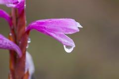 Piccola macro rosa bagnata del fiore in nebbia di primo mattino fotografia stock libera da diritti