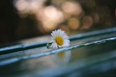Piccola margherita bianca al banco verde di legno fotografia stock libera da diritti