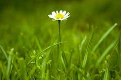 Piccola margherita bianca in erba Fotografia Stock Libera da Diritti
